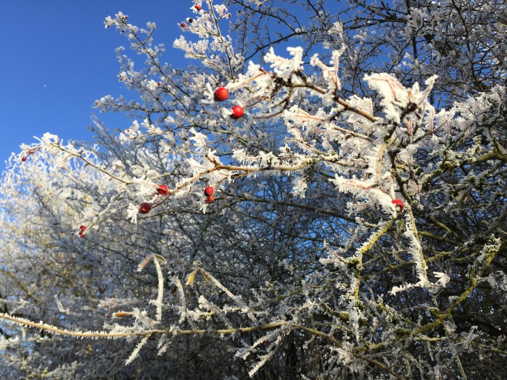 Heckenrosen überwuchern die Apfelbäume
